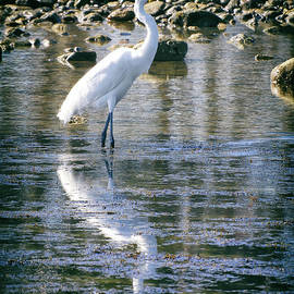 Mariola Bitner - Great Egret