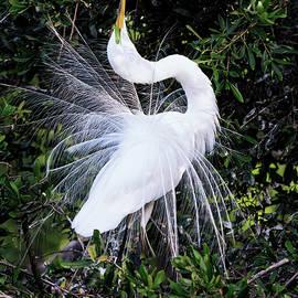 Great Egret Mating Dance by Rick Higgins