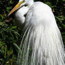 Great Egret Portrait Two by Steven Sparks