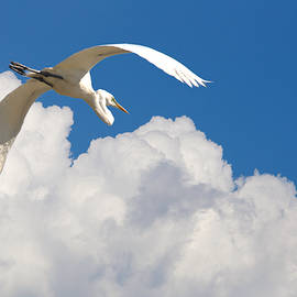 Great Egret Soaring High by Roy Williams