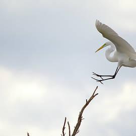 Roy Williams - Great Egret Treetop Landing