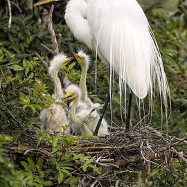 Great Egret w/ Chicks by Richard Sandford