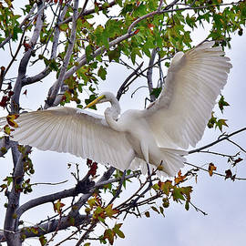 Linda Brody - Great Egret Wing Spread In Tree I