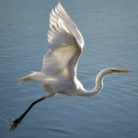 Great Egret Wings Aloft by Brian Tada