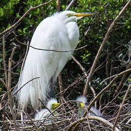 Great Egret with Chicks by Maggie Brown