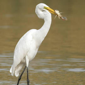 Great Egret with Fish 1356-111317-2cr by Tam Ryan