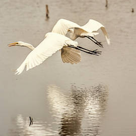 Great Egrets at Horicon N W R by Mark Fuge