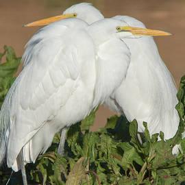 Tam Ryan - Great Egrets Huddle