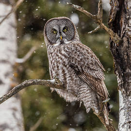 Great Gray at Gooseberry Falls by Morris Finkelstein