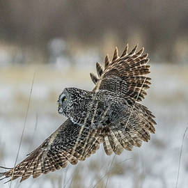 Great Gray Owl Hunting At Sunset by Morris Finkelstein