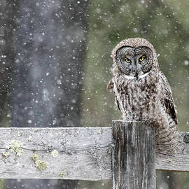 John Vose - Great Gray Owl in Snowstorm