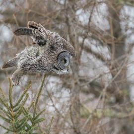 Great Gray Owl Taking Off #1 by Morris Finkelstein