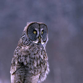 Great Grey Owl by Bill Morgenstern