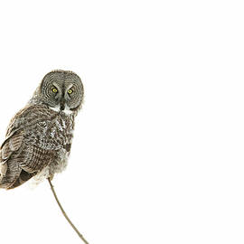 Great Grey Owl on White by Mircea Costina Photography