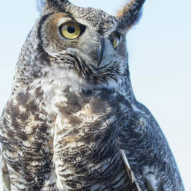 Chris Scroggins - Great Horned Owl 1