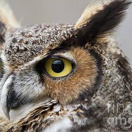 Chris Scroggins - Great Horned Owl 2