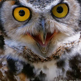 Great Horned Owl Closeup by Sue Harper