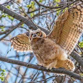 Morris Finkelstein - Great Horned Owl Fledgling Readying for Flight
