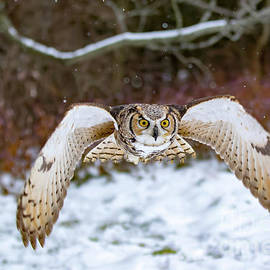 CJ Park - Great Horned Owl Flying At You