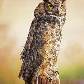 Great Horned Owl In Evening Light by Sharon McConnell