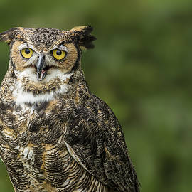 Great Horned Owl by Lindley Johnson