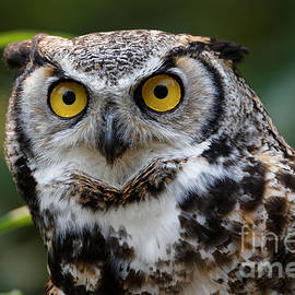 Sue Harper - Great Horned Owl - Looking at You