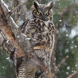 Great horned owl  by Mircea Costina Photography