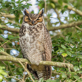 Great Horned Owl Roosting On New Year's Eve by Morris Finkelstein
