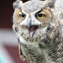 Great Horned Owl Screeching by May Finch