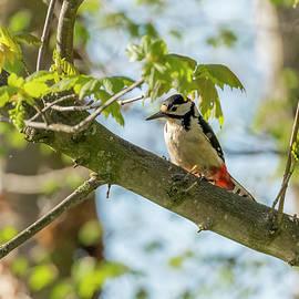 Darren Wilkes - Great spotted woodpecker