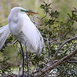 Great White Egret by Carol Montoya