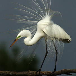 Bob Christopher - Majestic Great White Egret High Island Texas