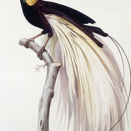 Greater Bird of Paradise - Jacques Barraband