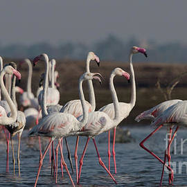 Mihir Joshi - Greater Flamingos
