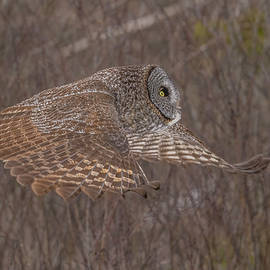 Great Gray Owl Hunting #2 by Morris Finkelstein