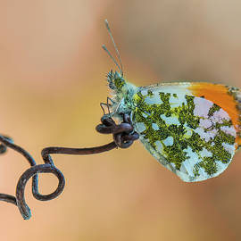 Jaroslaw Blaminsky - Green and orange small butterfly on curly branch