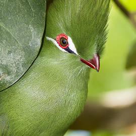 Bob Slitzan - Green Turaco Bird Portrait