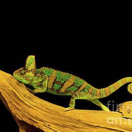 Les Palenik - Green Chameleon