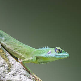 Chris Smith - Green Crested Lizard