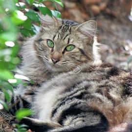 Jill Nightingale - Green-eyed Maine Coon Cat