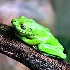Miroslava Jurcik - Green Frog Sitting On A Tree