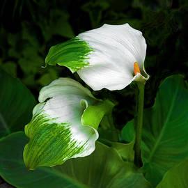 Green Goddess Calla Lily by Floyd Hopper