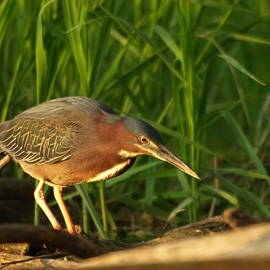 James Peterson - Green Heron Scaled Plumage