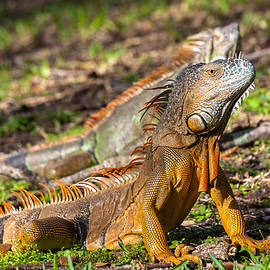Green Iguana by Ed Gleichman