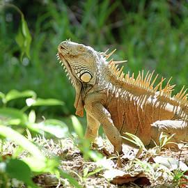 Green Iguana, Iguana Iguana by Breck Bartholomew