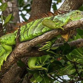 Green Iguana In Tree by Ginger Stein