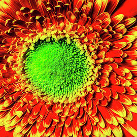 Green Orange Gerbera Daisy - Garry Gay