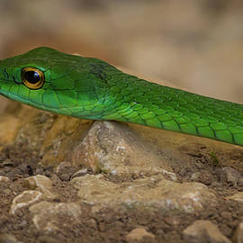 Green Parrot Snake by Lee Alloway