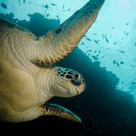 Green Sea Turtle by Brent Barnes