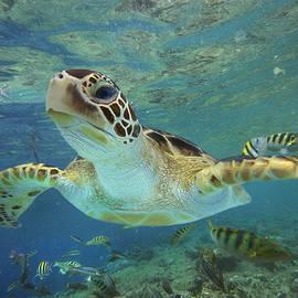 Green Sea Turtle Chelonia Mydas by Tim Fitzharris